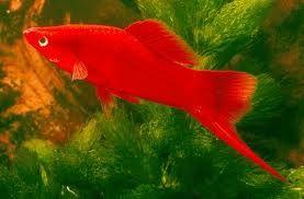Tropicalparadisefish Com Aquarium Fish Tropical Fish Home Aquarium Fish