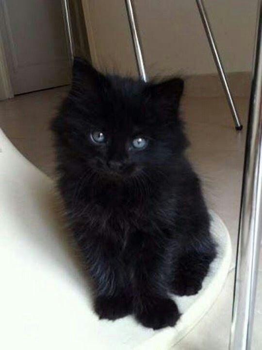 Z Fluffy Cat Breeds Fluffy Black Cat Cat Furry
