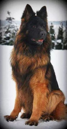 Black and red plush coat german shepherd
