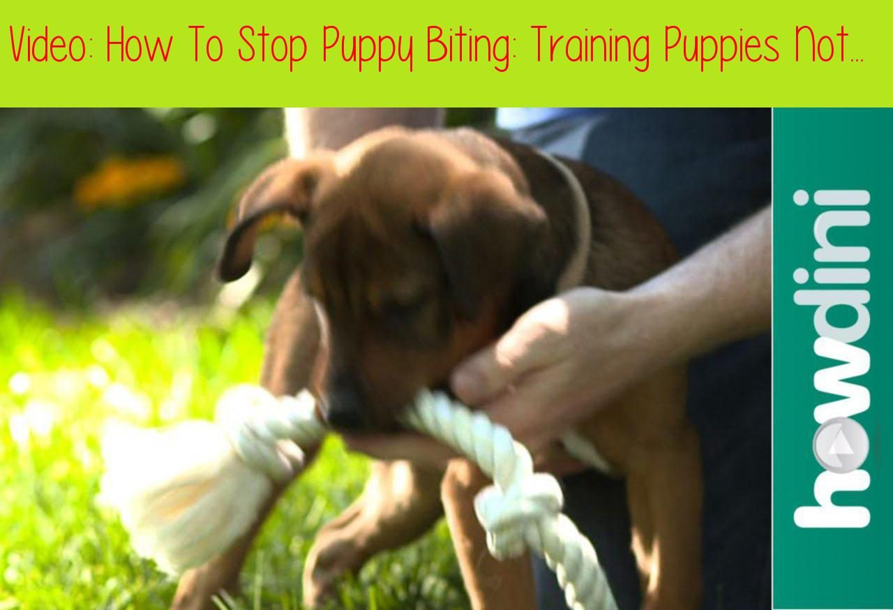How To Stop Puppy Biting Training Puppies Not To Bitetext Version