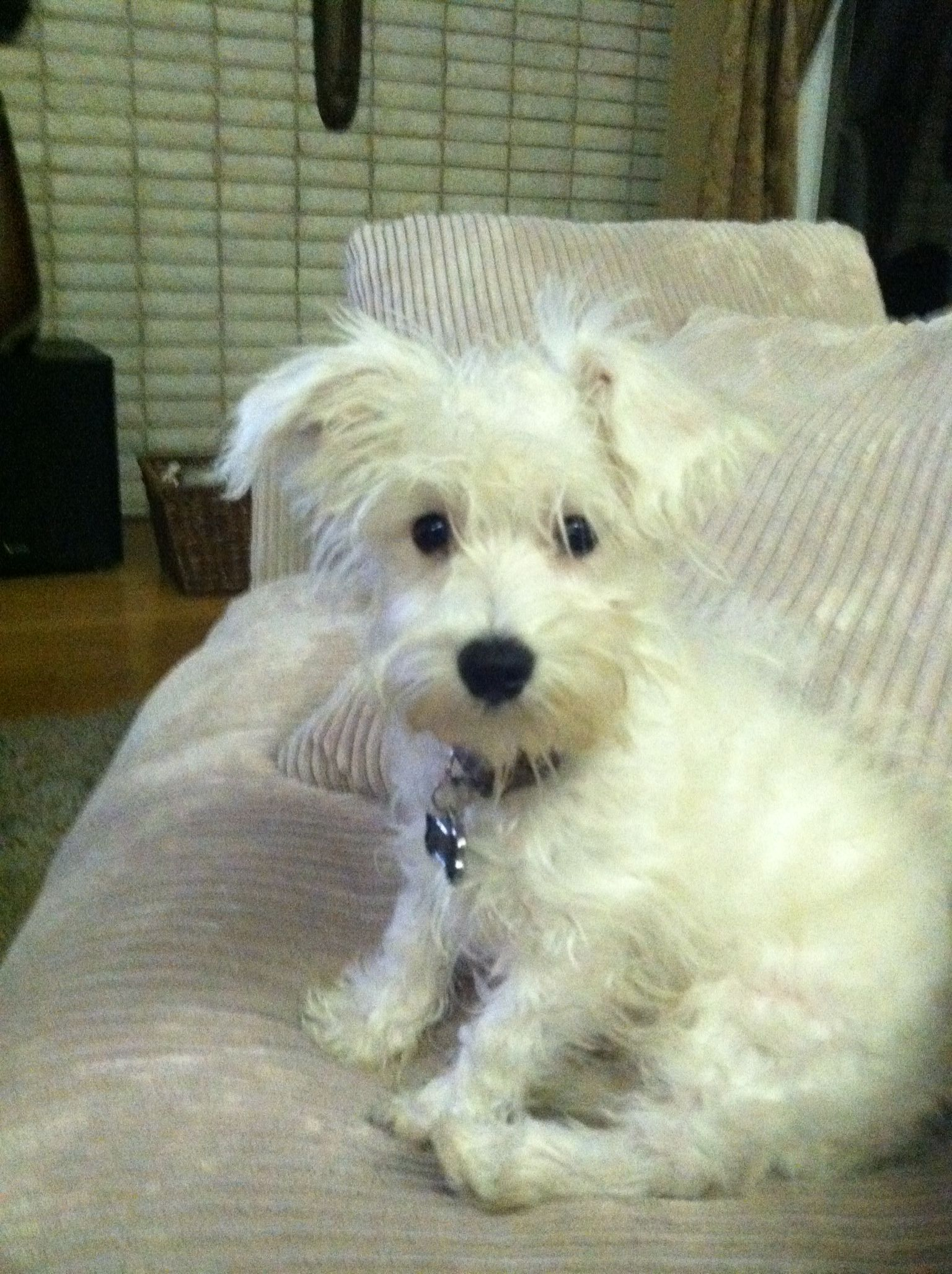 Pete The Schnoodle Omfg Is He Cute Schnoodle Dog Schnoodle Crazy Dog Lady