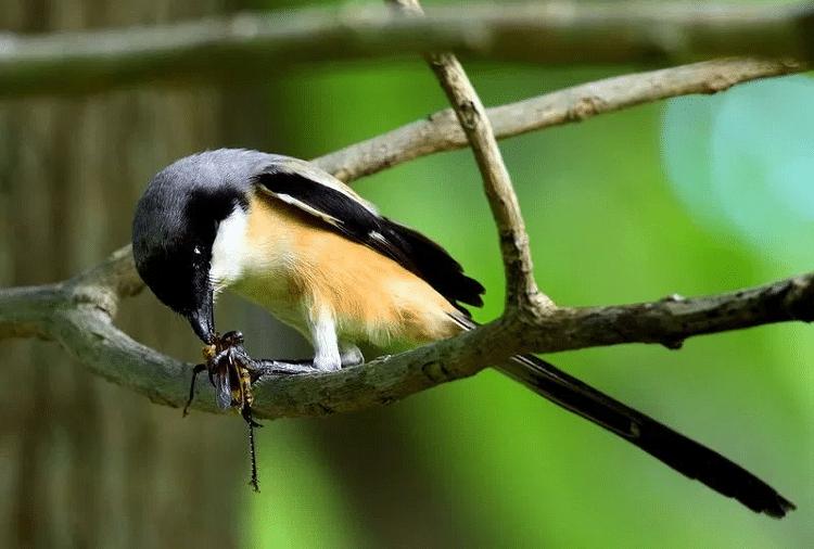 Racikan Makanan Burung Cendet Agar Rajin Bunyi Burung Makanan Burung Jalak