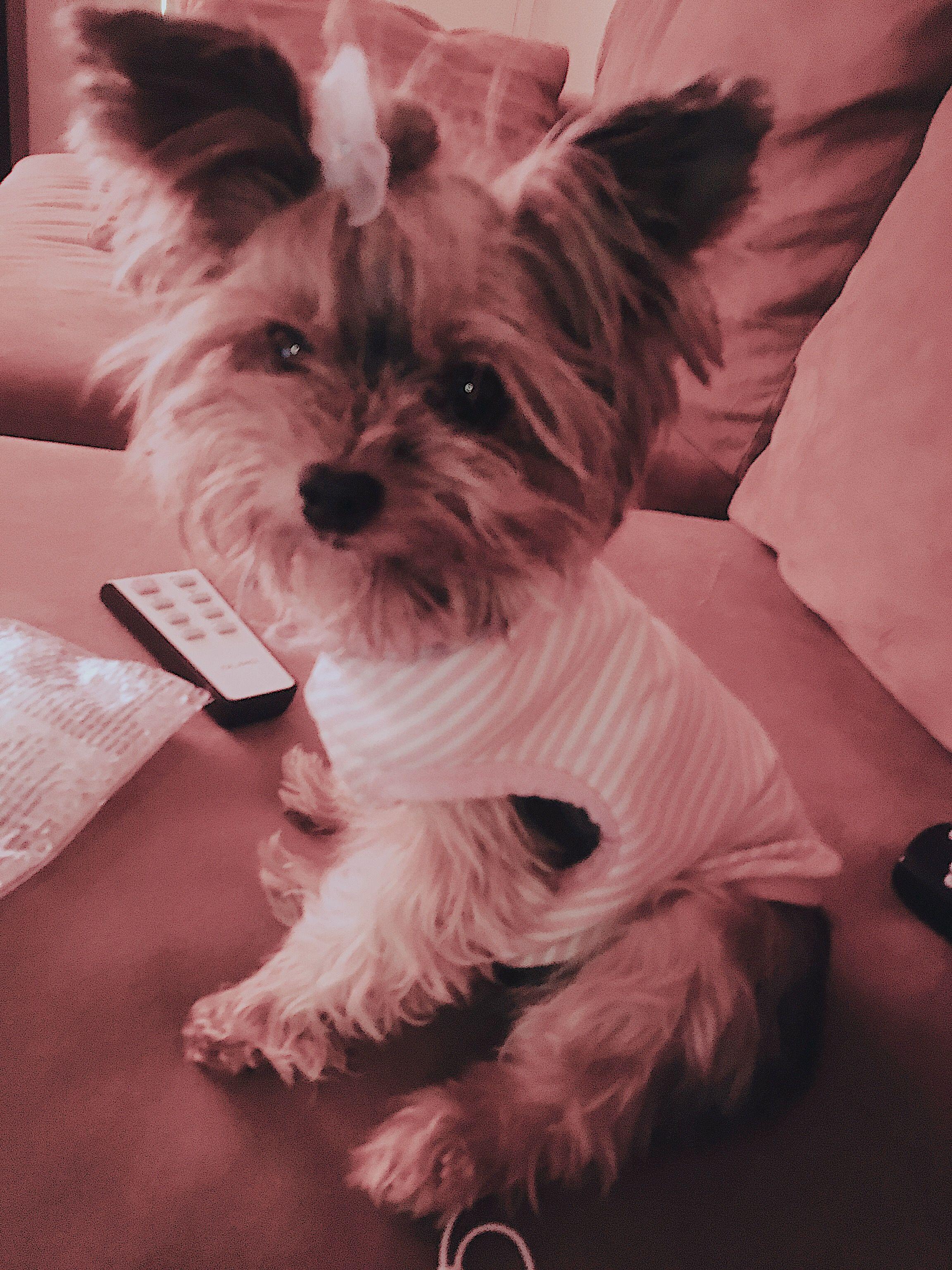 Sophia Theodora Yorkie Terrier Yorkie Dog List
