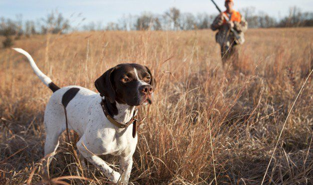 English Pointer   The 10 Best Bird Hunting Dogs For All Types Of Game And Hunts