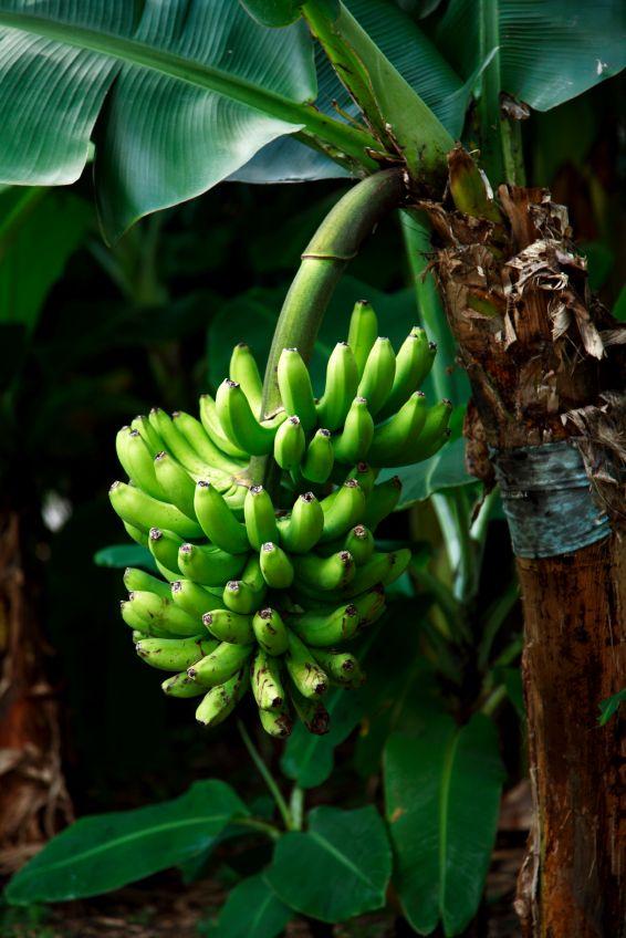 Eine Bananenpflanze Ist Eine Staude Bananenbaum Bananenpflanze Umpflanzen