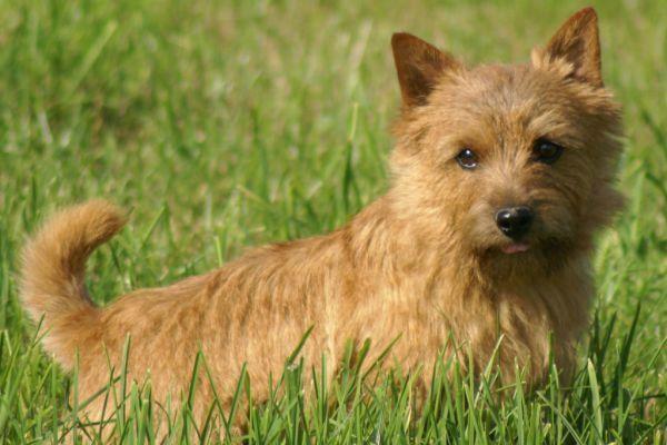 Пин от пользователя BestK9buds на доске Norwich Terrier ...