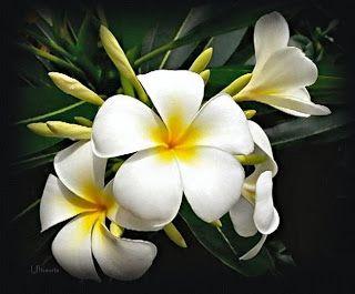 Imagenes De Flores Y Plantas Jazmines Jazmin Flor Flores Flores Plumeria