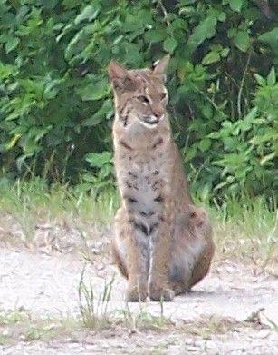 Florida bobcat pictures — 2