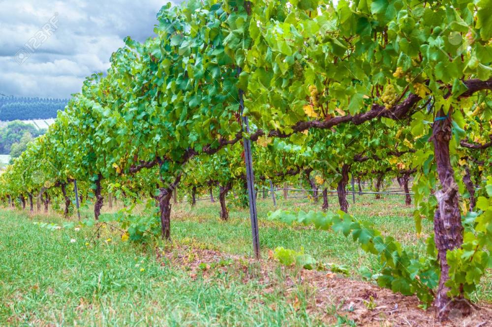 Grape Vine Google Search In 2020 Vineyard Grape Vines The Row