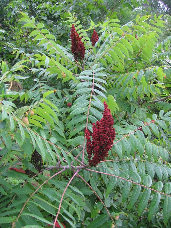 American Sumac leaves Native plants, Plants, Meadow garden