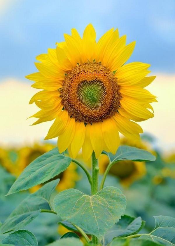 Kessww Turizm I Otdyh On Twitter Sunflower Photography Sunflower Pictures Sunflowers Background