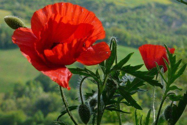 Novosti Heilpflanzen Lila Blumen Und Mohnblume