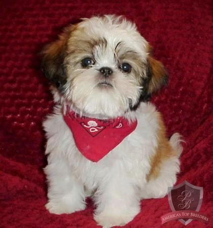 shih tzu don t shih tzu my obsession don t judge shih tzu cute dogs 8549