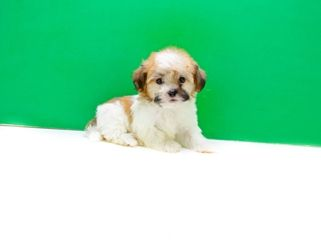 Havanese Puppies For Sale In Ohio Havanese Pups For Adoption Havanese Puppies Havanese Puppies For Sale Puppies For Sale