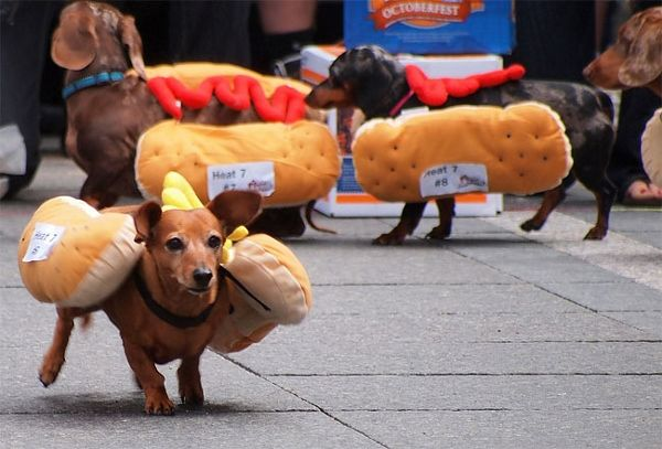 Dachshunds Dress In Hot Dog Costumes For The Running Of The