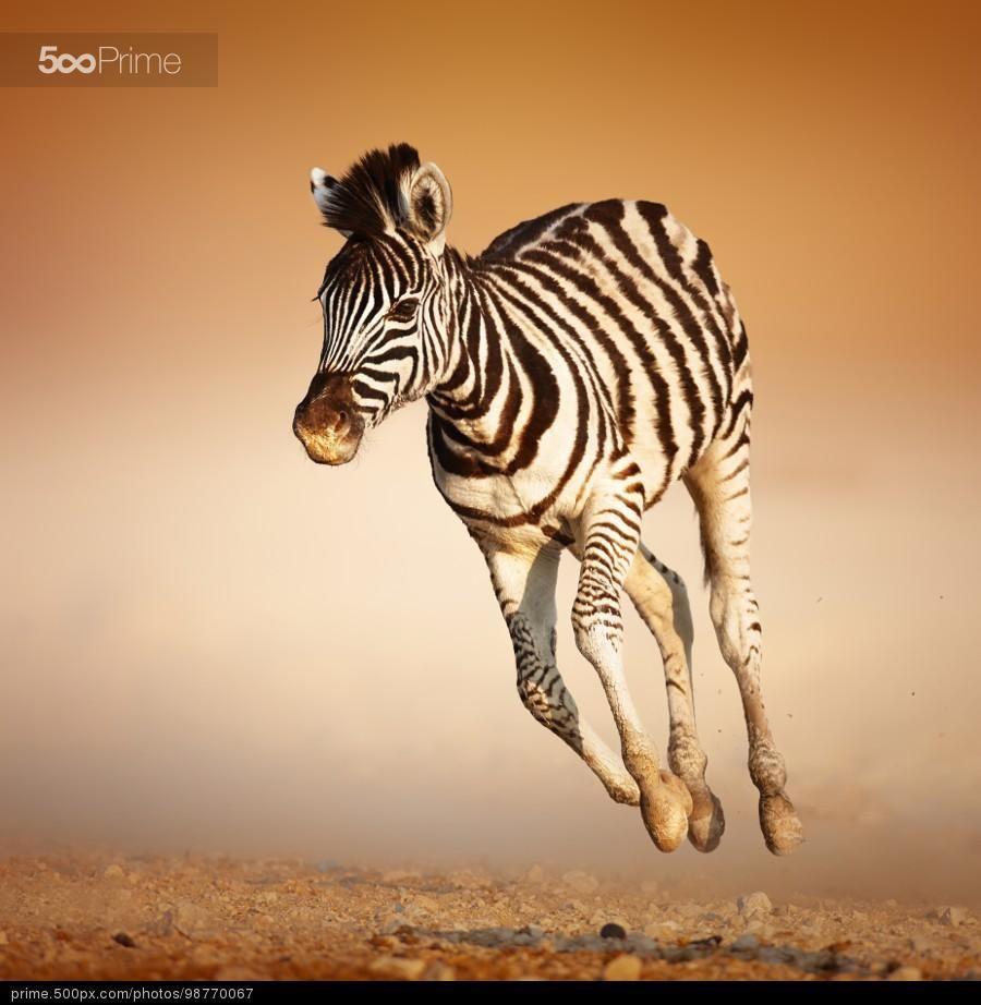 Zebra calf running
