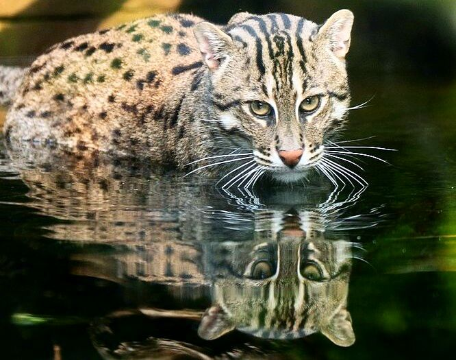 The Fishing Cat Prionailurus Viverrinus Is Very Much At Home In The Water And Can Swim Long Distances Even Und Wild Cat Species Animals Wild Small Wild Cats