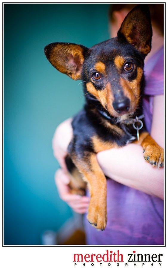 Adopt VinDiesel on dachshund, mix, Animals