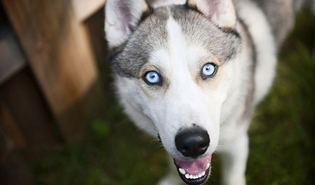 Everything You Want To Know About Siberian Huskies Including