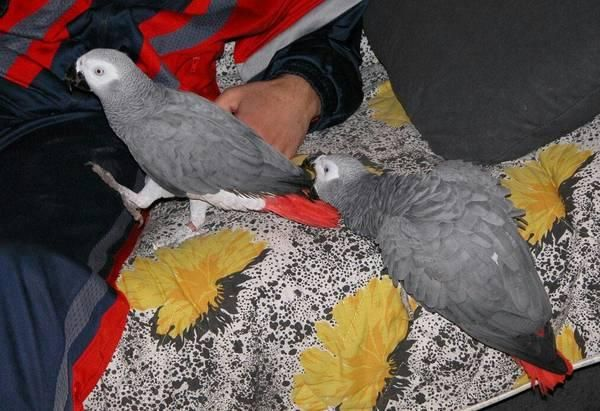 Decatur #Very# #healthy# #tamed# #African# #grey# #parrots ...