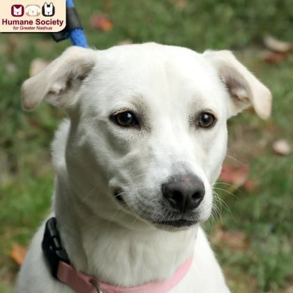 Snickers - Golden Retriever mix - 1 yr old -Female - Humane Society for Greater Nashua - Nashua, NH. - http://www.hsfn.org/adopt/available-dogs/ - https://www.facebook.com/pages/Humane-Society-for-Greater-Nashua/58603244176 - http://www.petango.com/Adopt/Dog-Retriever-Golden-23886453 - https://www.petfinder.com/petdetail/31074889/