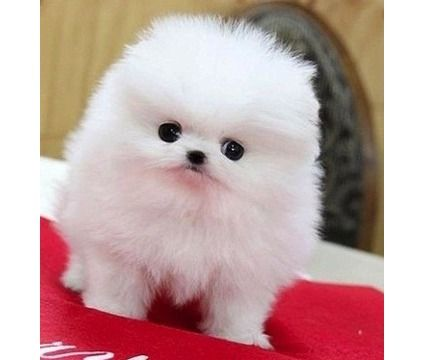 Sany Sany Teacup Pomeranian Pups Is A Female Pomeranian For Sale In