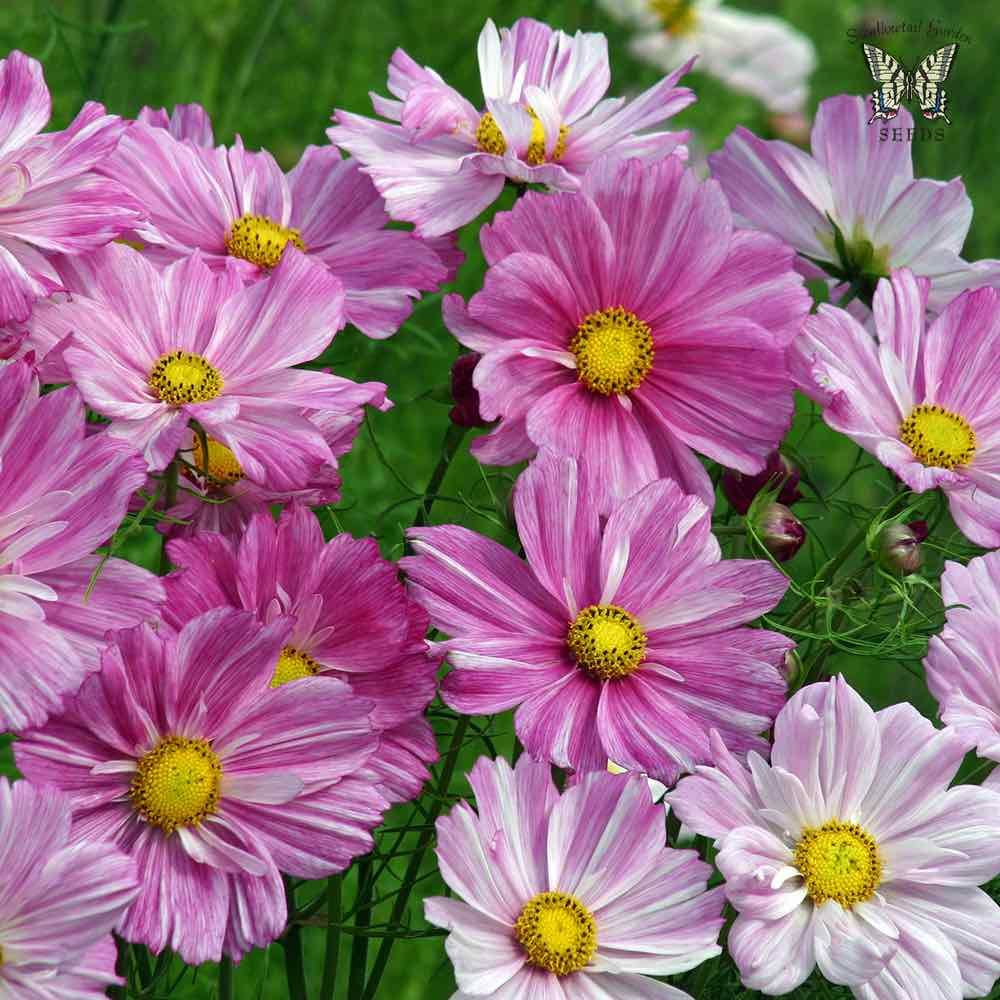 Rosetta Cosmos Part Sun Flowers Flower Seeds Annual Flowers
