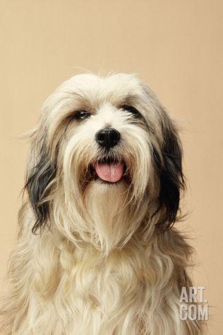 Tibetan Terrier Dog Photographic Print Tibetan Terrier Terrier Dogs Terrier