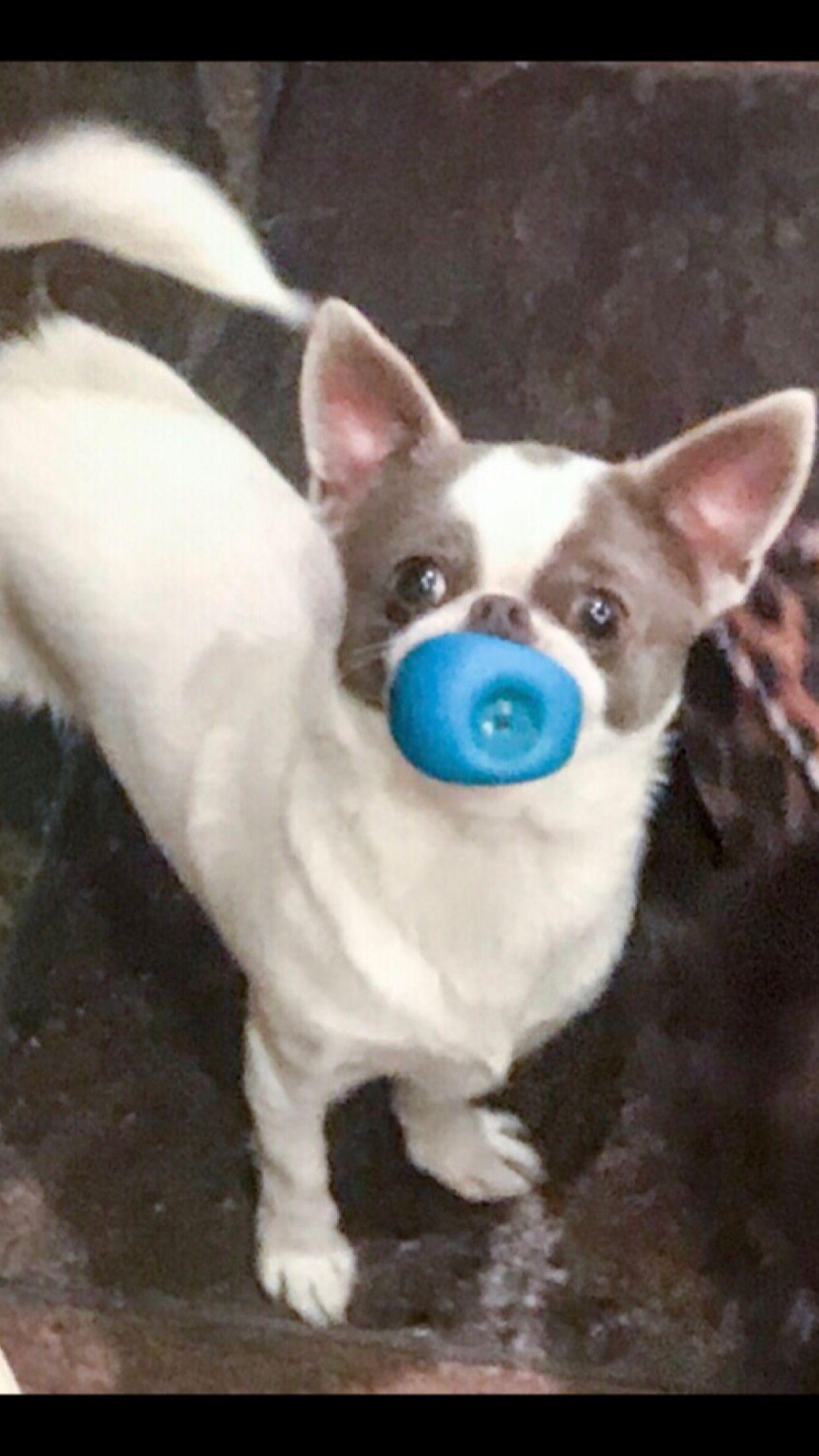 Blue/ white chihuahua Baby chihuahua, Chihuahua puppies