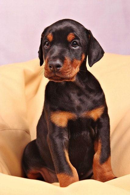 Doberman Lab Mix Doberman Puppy Doberman Pinscher Dog Dog Breeds