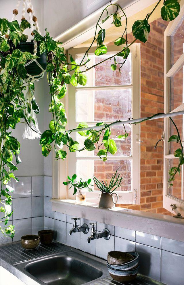 plante int rieur vignes d 39 appartement tendances plantes pinterest maison appartement et. Black Bedroom Furniture Sets. Home Design Ideas