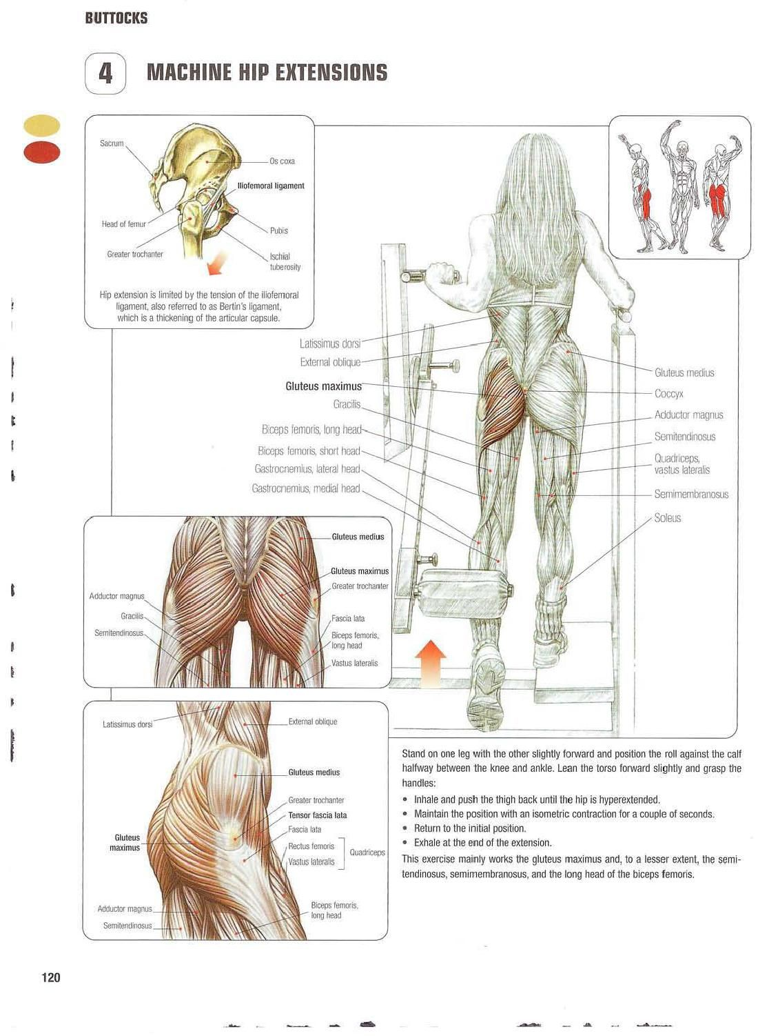 Strength training anatomy 4. Machine Hip Extensions Bigger/bubble ...