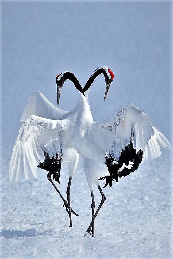 Japanese Cranes Are Among The Most Beautiful And Rare Birds On Earth