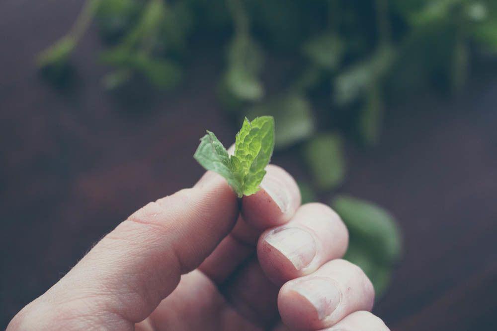Aloittelevan viherpeukalon ihmetykset – näin kasvatat yrttejä ikkunalaudalla
