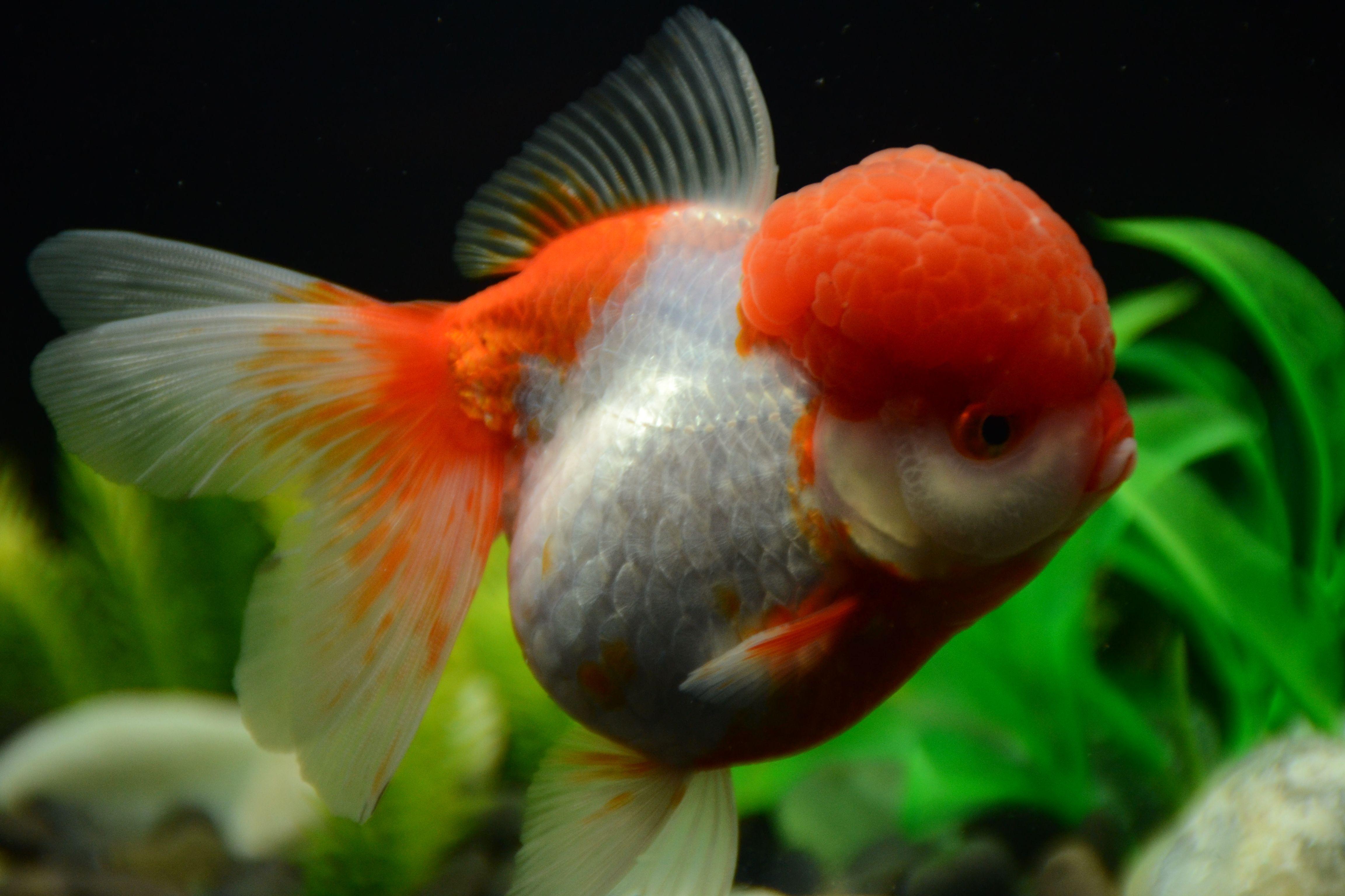Red And White Oranda Golfish Jumbo Size Fish Buygoldfishonline Com Fish Buy Goldfish Goldfish