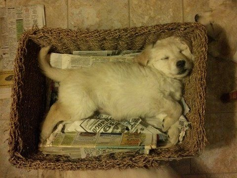 Puppy from last litter that fell asleep in a basket