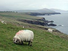 Sheep, Coastline, Ireland, Landscape