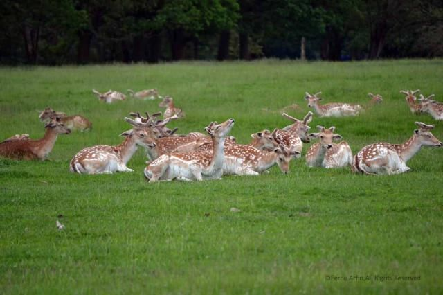 Attingham Deer - © Ferne Arfin/Licenced to About.com
