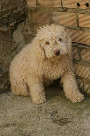 Pin On Perros De Agua Pdae