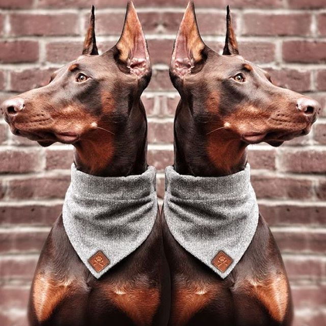 Doberman Doberman Doberman Love Dog Breeds