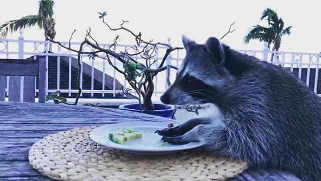 This Is The Story Of A Rescued Bahamian Raccoon Called Pumpkin And - Pumpkin rescued raccoon
