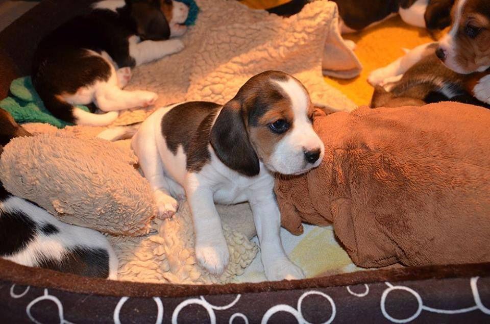 Itty Bitty Puppies Beagle Beagle Puppy Animals Beautiful