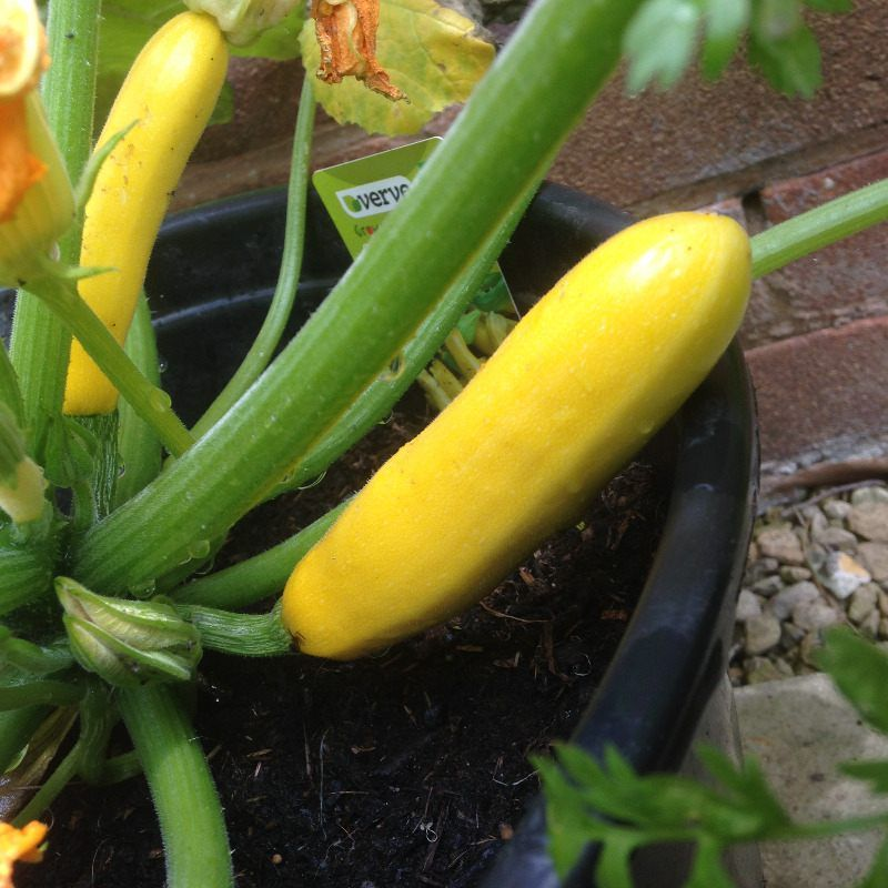 Growing patio veg update growing vegetables in pots