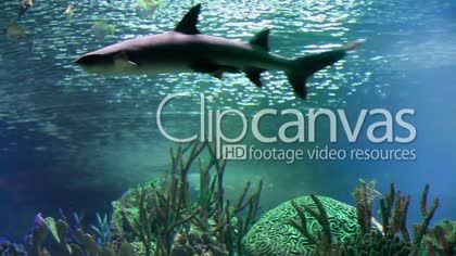 White shark a dangerous marine predators HD Stock Footage Clip. Medium shot. 2016-01-31, RUSSIAN FEDERATION.