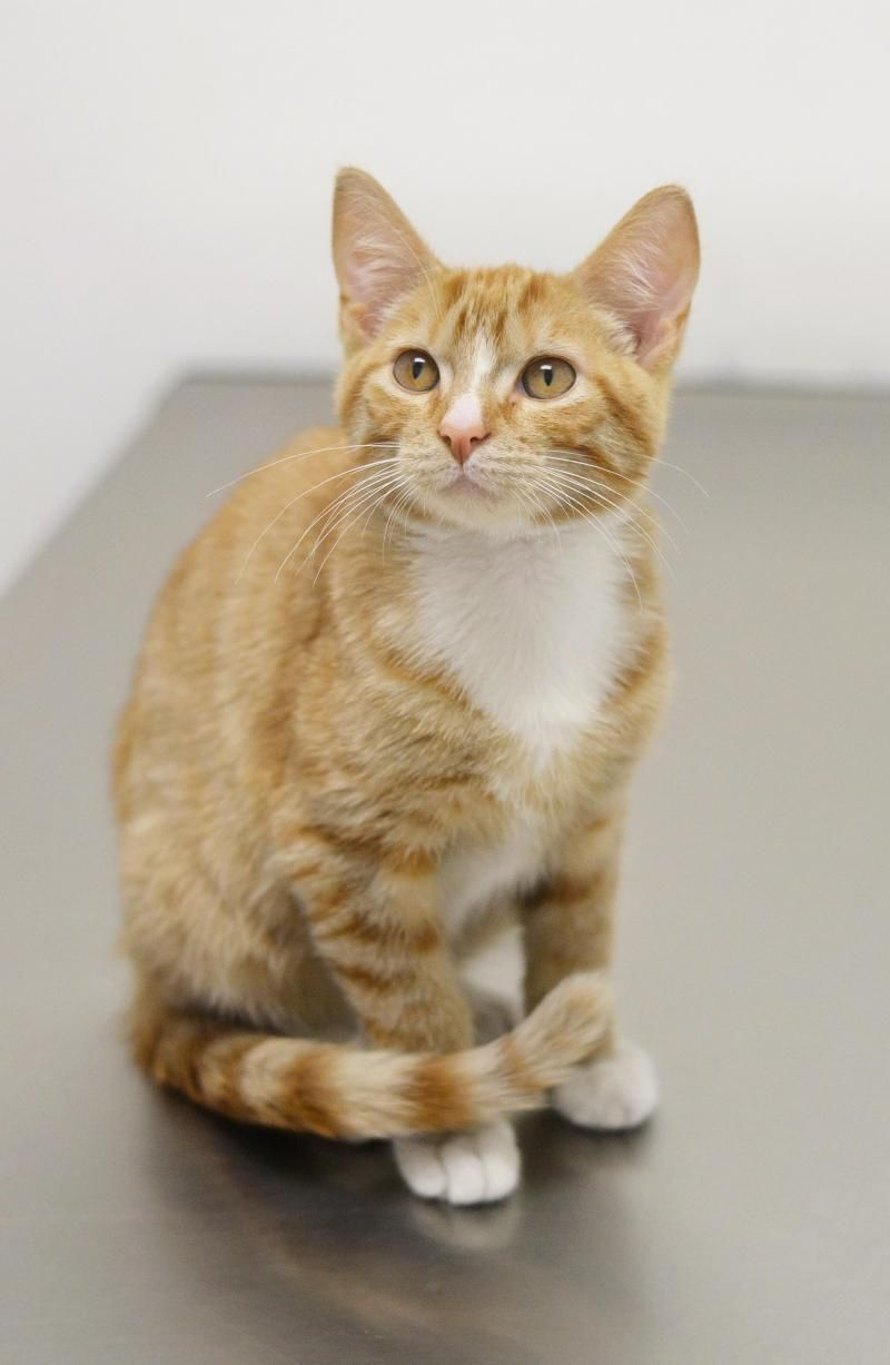 Adopt Austin Adopted On Orange Cats Ginger Cats White Cats