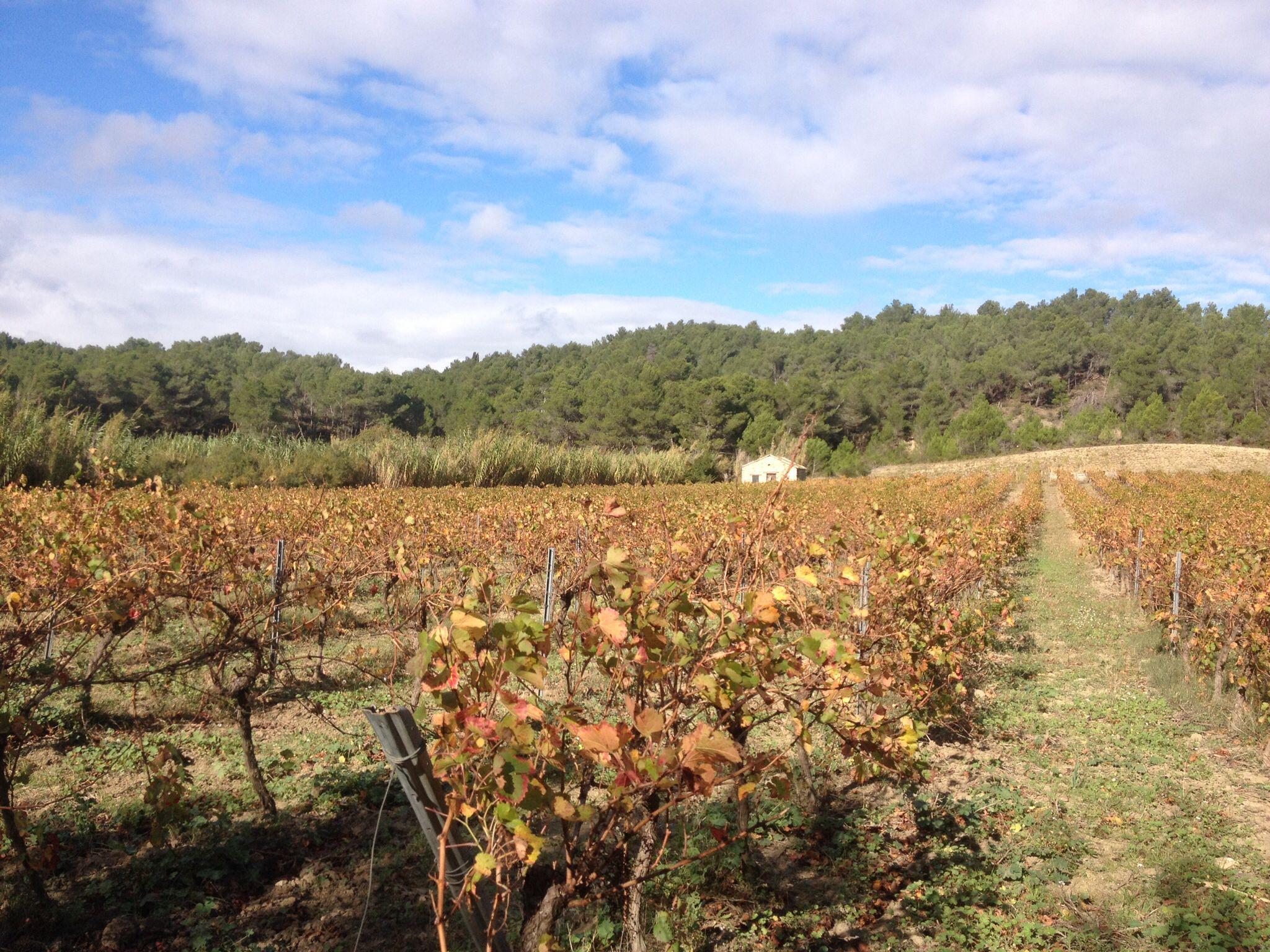 Dans les vignes autour de Sigean