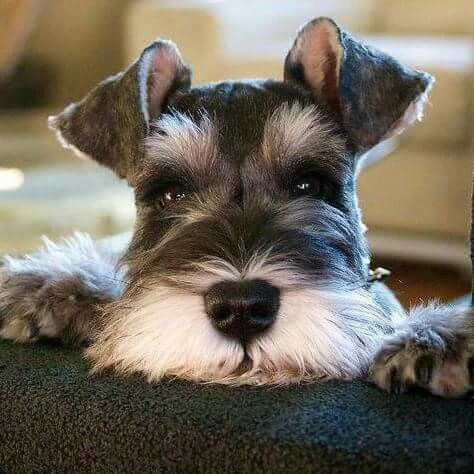 Oh My Miniature Schnauzers Are Really Cute Mini Schnauzer Puppies Schnauzer Puppy Cute Animals
