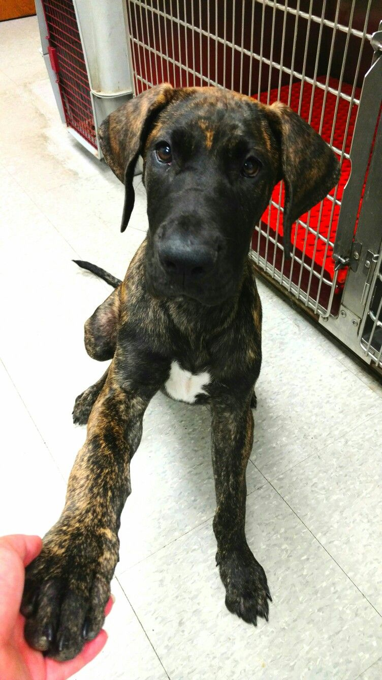 Obie Bron 4 Months Old 22 Inches At Shoulder 52lbs Brindle