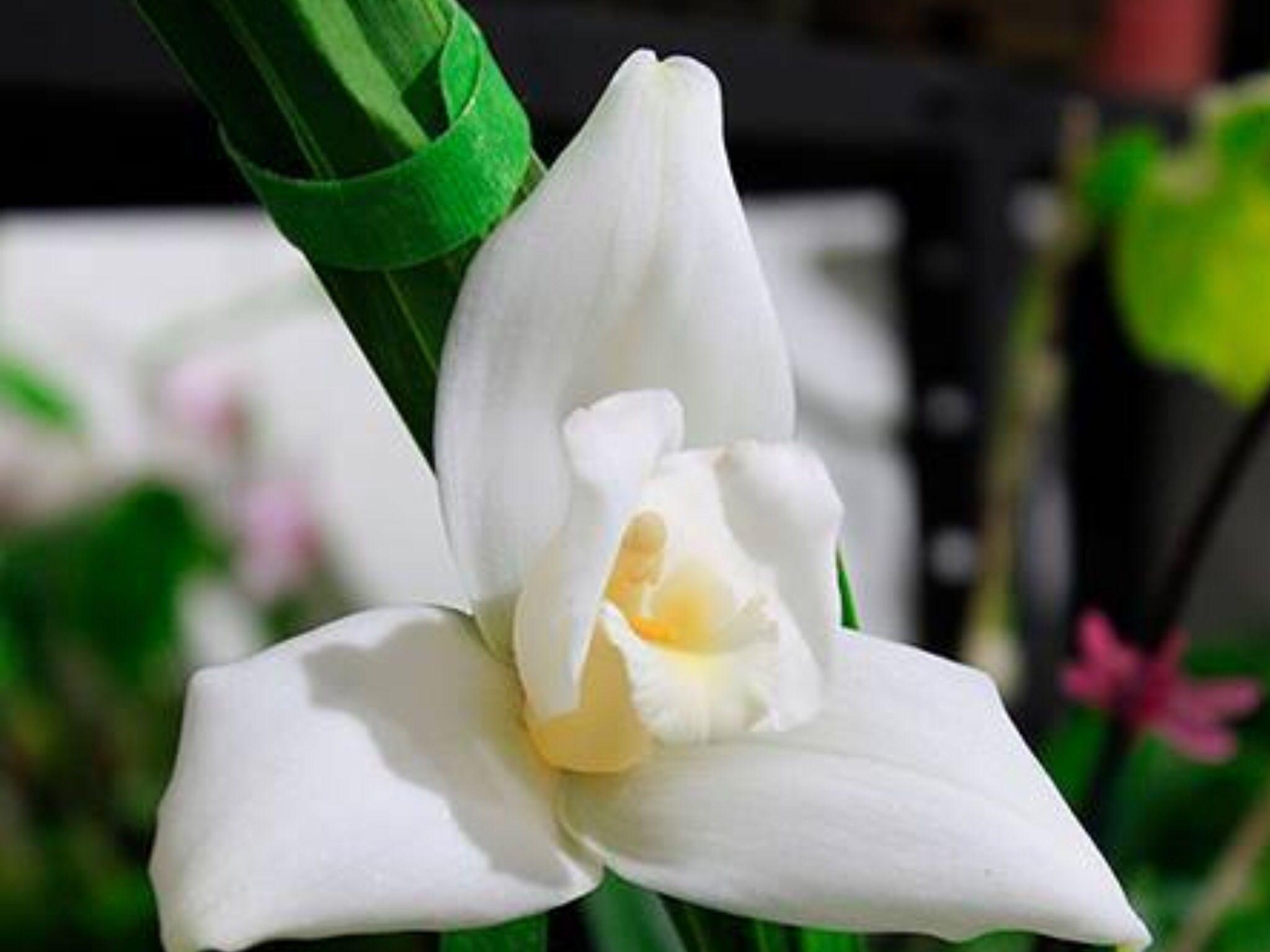 Monja Blanca, Guatemala National flower Guatemala