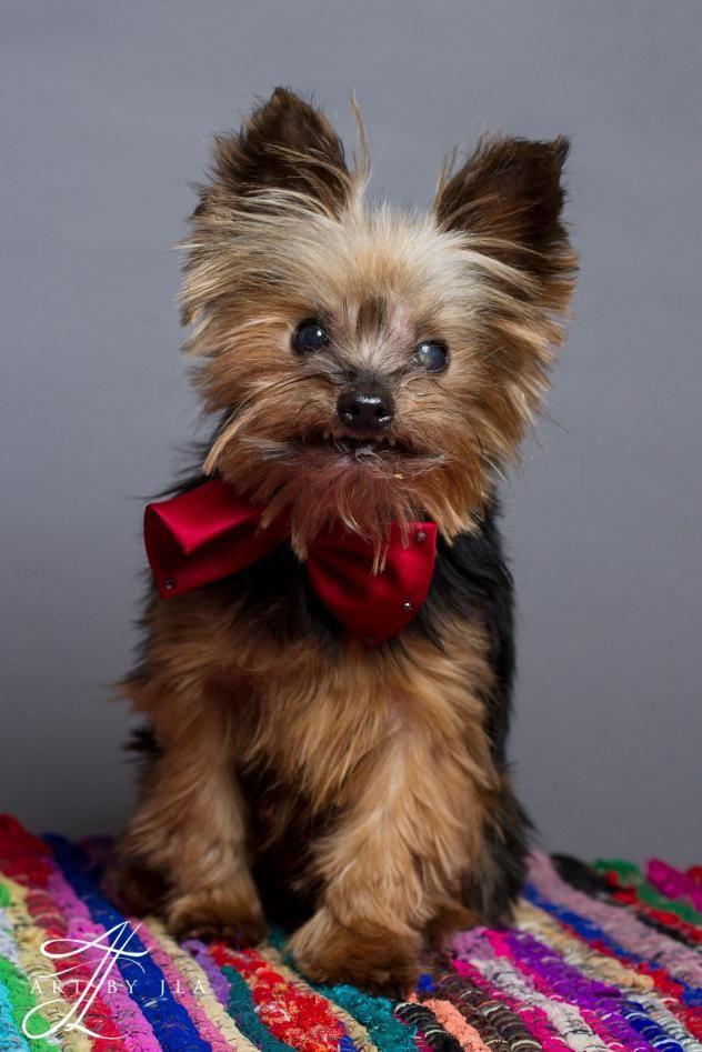 Adopt Louie On Petfinder Yorkshire Terrier Dog Training Yorkshire Terrier Dog
